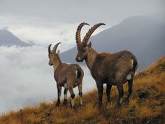 The Ibex is a wild goat of mountain habitats. They are very agile and hardy, able to climb on bare rock, survive on sparse vegetation,They can be distinguished from the genus Ovis, which includes sheep, by the presence of scent glands close to the feet, in the groin, and in front of the eyes, and the absence of other facial glands, and by the presence of a beard in the males, and of hairless calluses on the knees of the forelegs.