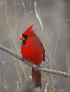 Grandpa loved cardinals.  I miss you, Grandpa, something fierce.