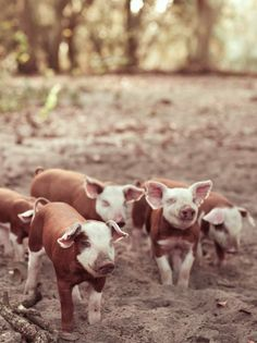 yes please! Hereford pigs!