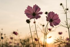 Silhouette pink cosmos flowers in garden Free Photo