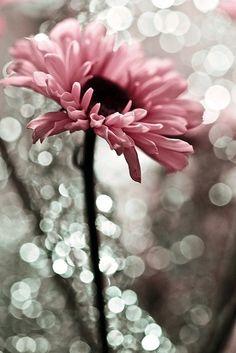 Gerbera in gray Amazing Flowers, Pretty In Pink, Pink Flowers, Beautiful Flowers, Pink Gerbera, Color Splash, Color Pop, Colour, Deco Rose