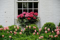 tulips hydrangeas beautiful window boxes spring blooms pink