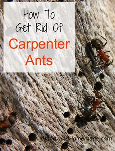 How To Get Rid Of Carpenter Ants Inside And Outside Your House