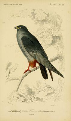Dictionnaire universel d'histoire naturelle 1847-1849