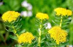 The Rhodiola Rosea is a plant, which treats people with various conditions. Another aspect of this herb is that it has anti-aging properties #rhodiolaroseaextract