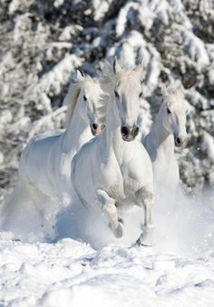 Beautiful white horses galloping through the snow.