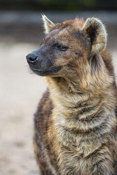 Spotted Hyena   Tambako