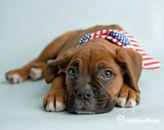 Hudson (Boxer) - Hudson is an All American Boy....aww, what a sweetie pie.