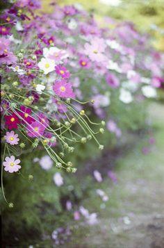 cosmos, lavender, guarra, reeds