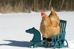 "From Our Country Chronicles: ""Our Buff Orpington Hen, Daisy, in a horse drawn carriage!"" I would totally use this as my Christmas card!"