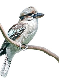 Baby kookaburra print 5x7 or 8x10 inches fine art nature decor nursery art baby bird baby - Valerie garnering ...