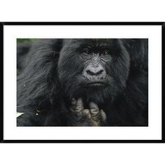 Global Gallery 'Mountain Gorilla Showing Finger Lost To Poacher's Trap' Framed Photographic Print Size: