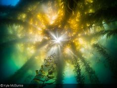 Underwater Photography in Kelp Forests