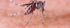Gene Could Reduce Female Mosquitoes