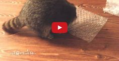 Raccoon <3 Bubble Wrap