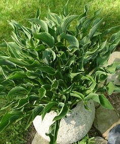 "'Praying Hands'   Size: 16 inches tall and 2 feet wide  Shade tolerance: Partial shade     Named ""Hosta of the Year"" in 2011 by the American Hosta Grower's Association, 'Praying Hands' sports one-of-a-kind twisted leaves with skinny cream-colored rims. This hosta's vertical shape means that the plant works exceptionally well in containers or plants in beds with miniature hostas at its feet."