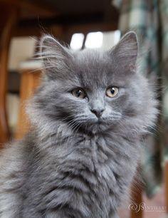 Rembrandt von Sinthari (Deutsch Langhaar, 12 Wochen) Grey Kitten, Grey Cats, Funny Cat Photos, Funny Cats, Cute Cats And Kittens, Kittens Cutest, Small Cat Breeds, Nebelung Cat, Maine Coon Kittens