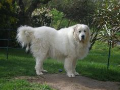 I have a Great Pyrenees (he is not this fluffy) they make GREAT dogs, they are great herders, watch dogs, and awesome therapy dogs! they are sooo sweet! Otter, Big Dogs, Dogs And Puppies, Animals And Pets, Cute Animals, Great Pyrenees Puppy, Top Dog Breeds, White Dogs, Mountain Dogs
