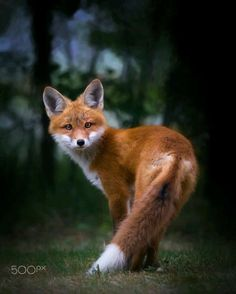 red fox by Allan Ogilvie on 500px.com https://500px.com/photo/225656007/red-fox-by-allan-ogilvie
