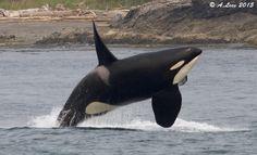 San Juan Island Whale Watching
