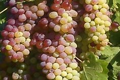 What is the Grape? Grapes can be eaten raw or they can be used for making wine, jam, juice, jelly, grape seed extract, raisins, vinegar, and grape seed oil. Grapes are a non-climacteric type of fruit, generally occurring in clusters.  The cultivation of the domesticated grape began 6,000–8,000 years ago in the Near East. Yeast, one