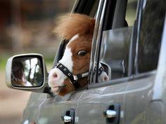 PERGUNTA 24: Mini cavalos deveriam ser autorizados a dirigir? | 27 perguntas que vão melhorar o seu dia