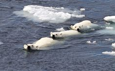 A polar bear family swim in formation after the cubs caught the eye of a hungry male bear, Spitsbergen, Norway  Picture: Paul Goldstein / Rex Features
