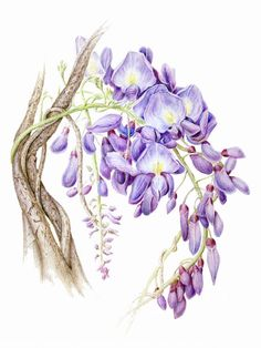Wisteria print from original botanical by Helen H. Conrad. Lovely gift!