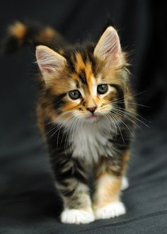 That kitty stare, so lovable. #WeLoveCats @AnimalBehaviorC
