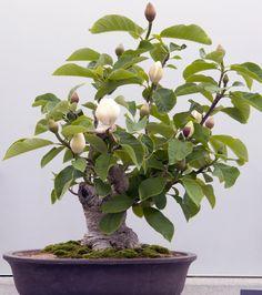 Magnolia Bonsai