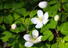 Wood Anemone - shade ground cover perennial