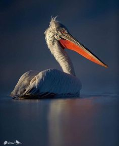 ✨ Dalmatian Pelican, Greece ✨  Super photo taken by: @austinthomasphotography  Thanks 4 tagging #nuts_about_birds Photo selected & Mod @Cowpi32 #austinthomasphotography_nab  cc  @Lisapinky12  @Pjlvr @stormaster9_photography @alice_balfe @jeffreypkarnesphoto ________________________________________________.  Check out @nuts_about_squirrels