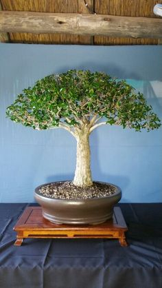 Bonsai Wild Olive Owned by A Smith (South Africa)