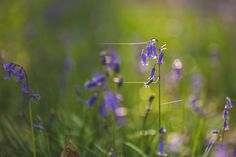#bluebells #woodland #spring #prints #artist #art #giclee #backlighting #flowers