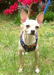 Peppino in NJ is an adoptable Chihuahua Dog in Providence, RI. Adoption donation $499          Located: NJ   AGE: 18 Months     WEIGHT: 8 lbs   Up to date on all vaccinations and has been fixed. Peppi...