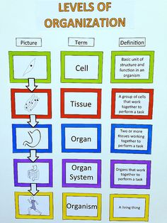 Learning the levels of organization that is! My students are working hard on our living systems unit. Our newest anchor chart is all abo. Science Chart, Science Cells, Science Anchor Charts, Science Worksheets, Science Biology, Science Resources, Life Science, Ap Biology, Science Ideas