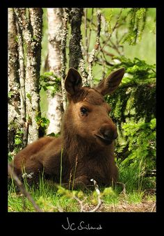 Moose calf resting in the midday sun, the mother was just off the frame to the right behind some bushes.