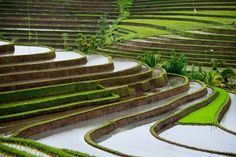 Belimbing, Bali has some of the most dramatic and beautiful rice terraces in all of Asia. This irrigation method is thousands of years old as are the terraces themselves. Her new rice is being planted and the fields flooded.