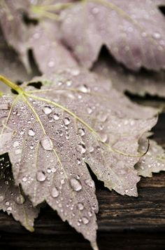 leaves mauve and lime Dew Drops, Rain Drops, Water Drops, Autumn Day, Autumn Leaves, Fallen Leaves, Soft Autumn, Winter, Mauve