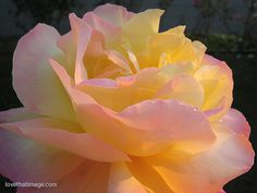 Peace rose in the garden at sunset