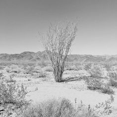 Upright. Joshua Tree National Park. by dguttenfelder