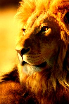 Lion Wallpaper Iphone High Quality Desktop, iPhone and Android - Background and . - Lion Wallpaper Iphone High Quality Desktop, iPhone and Android – Background and … - Lion Wallpaper Iphone, Animal Wallpaper, Iphone Wallpapers, Leopard Wallpaper, Wallpaper Backgrounds, Beautiful Cats, Animals Beautiful, Animals And Pets, Cute Animals