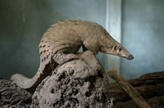 The Vanishing Pangolin - NYTimes.com