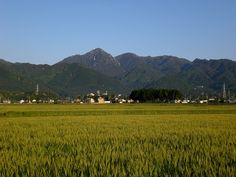 菰野町西菰野地区 麦畑と御在所岳  平成24年5月19日撮影