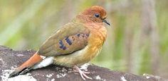 'Como redescobri, sem querer, pássaro de olhos azuis desaparecido no Brasil havia 75 anos'