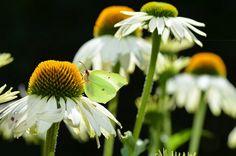 """""""Öpedagogens"""" blogg med tankar och funderingar kring pedagogik och IT, Foto: butterfly breakfast by Opedagogen, via Flickr Blogg, Plants, Animals, Pictures, Animales, Animaux, Flora, Plant, Animal"""