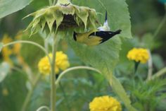 male American Goldfinch upside down eating sunflower seeds