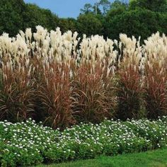 1000 images about grasses on pinterest ornamental for Tall thin ornamental grasses