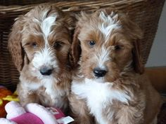 Mini Springerdoodle Puppies | Springerdoodles are a fun new addition at ShelbyGoldendoodles.