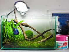 Lovely natural looking tank with a betta and HUGE Japanese moss ball